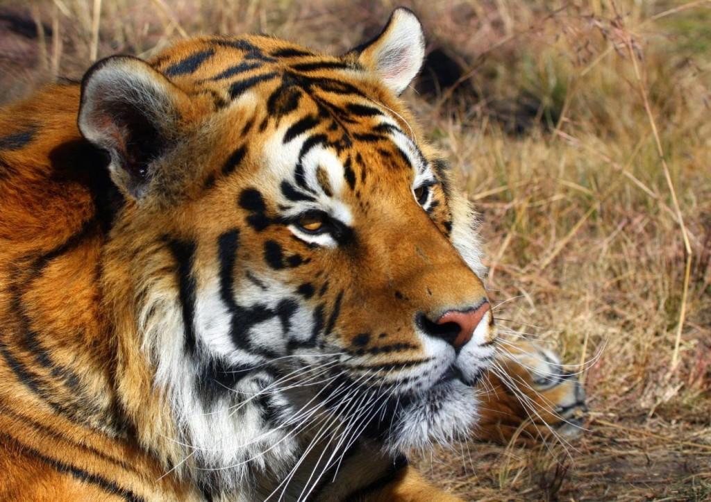 Indian-Tiger-shoor-safaris-India