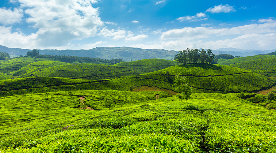 BLOG IMAGE MUNNAR TEA PLANTATION